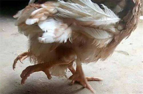 山東菏澤驚現四腿雞 主人都看傻眼了