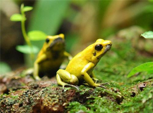 世界上最毒的动物 竟然是黄金箭毒蛙