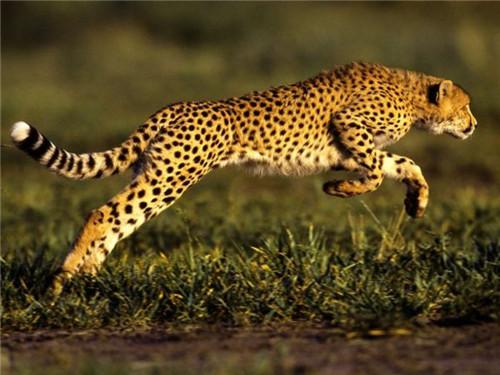 世界上跑的最快的动物是猎豹 速度达到100千米/小时以上