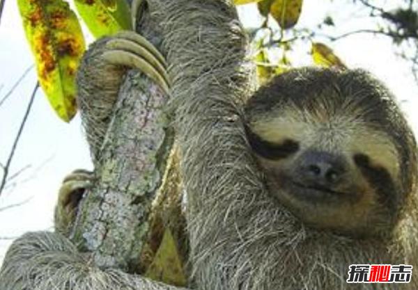 树懒拉屎_世界上最懒的10种动物大熊猫排第七,第1吃屎长大_探秘志
