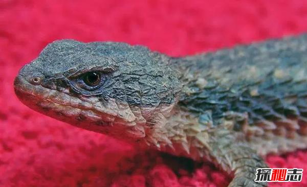 棘刺尾蜥_世界上10大刺最多的动物 第四寿命长达20年,第一不可否认_探秘志