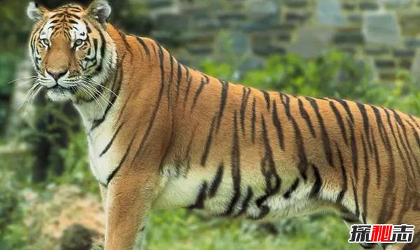 印度十大代表性动物 第八神圣守护者,第三能跳15米高