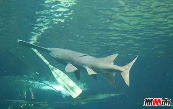 世界最大的十种淡水鱼排名 第三重600公斤,第六无水活24小时