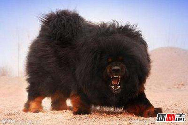 【中国十大名犬】中国禁养名犬 藏獒忠心为何咬死主人