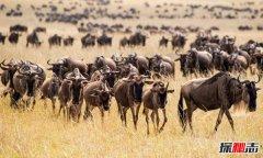 肯尼亚动物大迁徙 不容错过的人间奇迹