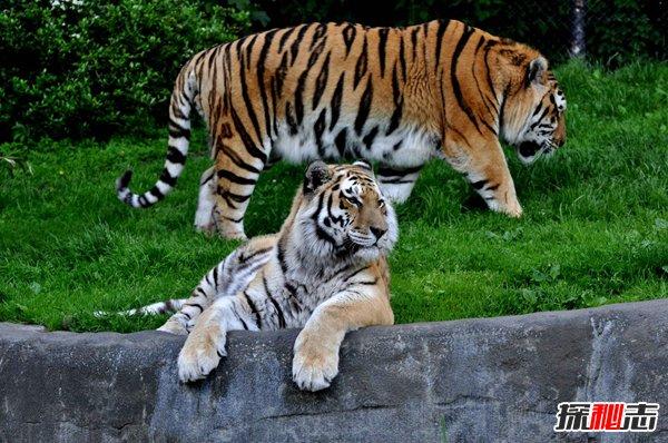 世界上最大的老虎记录图片