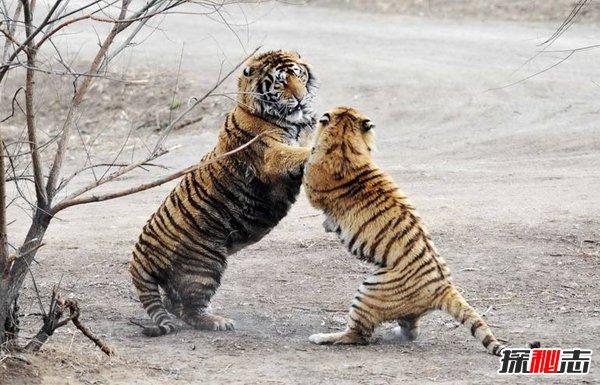 世界上最大的老虎是什么虎图片