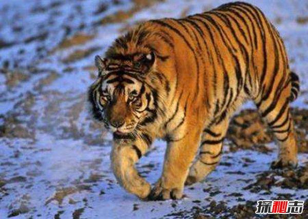 世界上最大的老虎图片图片