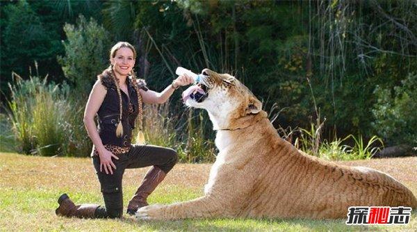 世界上最大的老虎多重图片