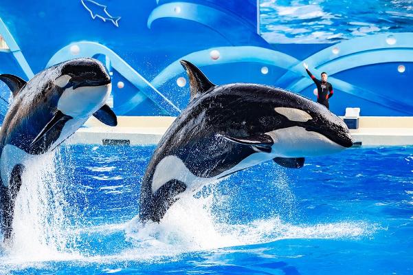 虎鲸的智商相当于人类十五六岁?虎鲸和大猩猩谁智商高