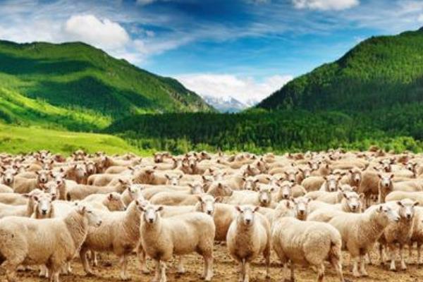 山羊效应给我们的启示:切勿盲从(学会独立思考是关键)