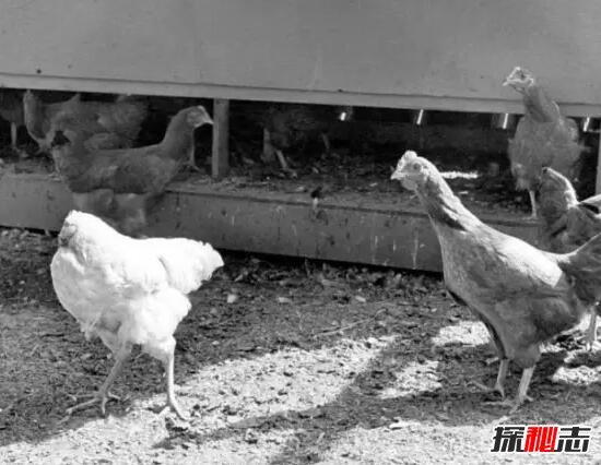 麦克无头公鸡之谜,被斩掉头的无头公鸡竟活18个月/原因