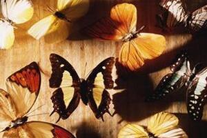 美国蝴蝶树之谜,成千上万的蝴蝶爬满黑色松树(休眠6个月)