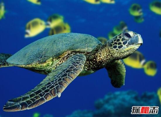 相比其它深海动物,海龟是一种常见的动物之一.