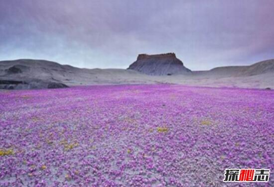 神奇的沙漠之花,厄爾尼諾現象導致沙漠開花/地球異常變暖