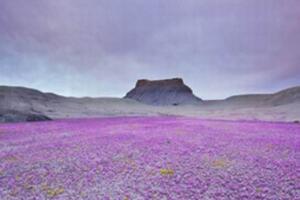 神奇的沙漠之花,厄尔尼诺现象导致沙漠开花/地球异常变暖