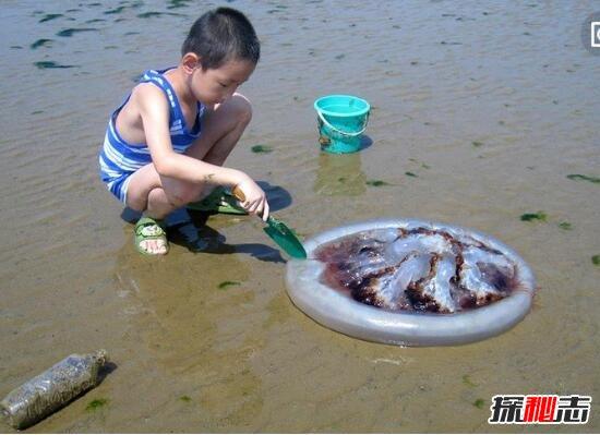 海蜇是水母嗎,海蜇屬水母科(海蜇就是水母/可食用水母)