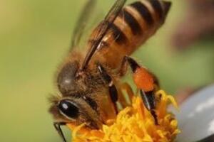 僵尸蜜蜂侵袭美国,蜜蜂被吃空内脏/如同僵尸样行尸走肉