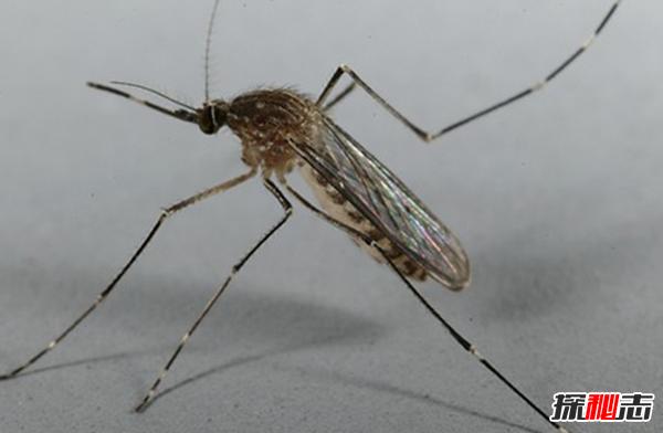 蚊子传播的疾病有哪些?蚊子可以传播的10大疾病(最致命)