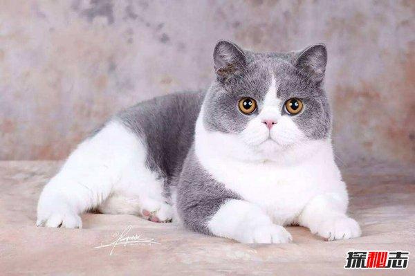家猫品种图片