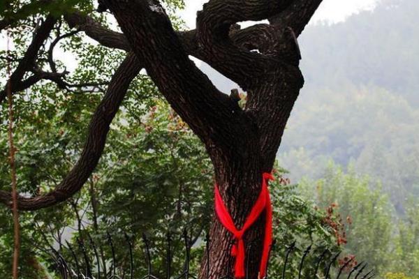 降龙木是什么树?被穆柯寨封为神木(树皮长有六道棱)