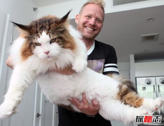 世界巨胖_世界上最大的猫,乌克兰巨猫angie重726斤(PS所致)_探秘志
