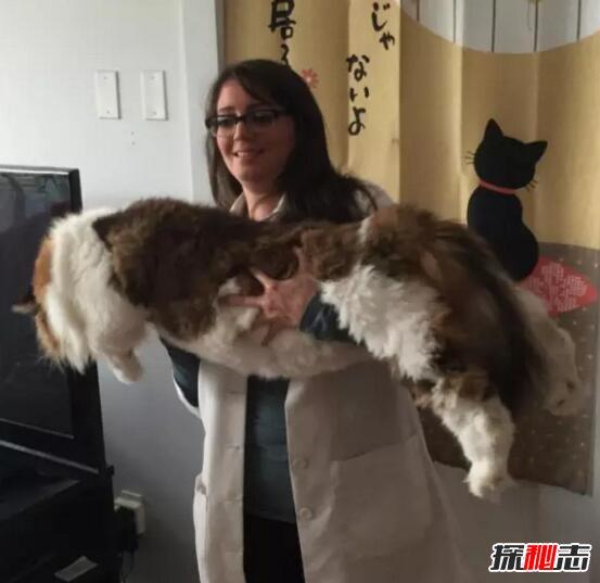 乌克兰巨猫angie_世界上最大的猫,乌克兰巨猫angie重726斤(ps所致)