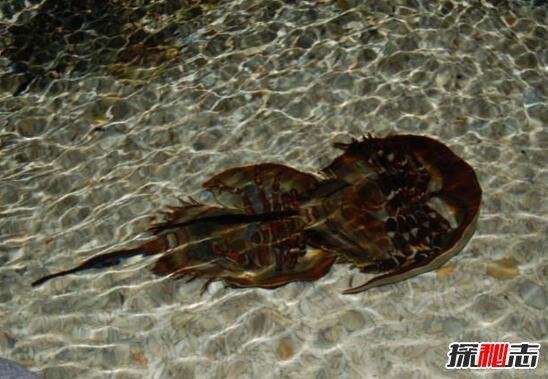 """说起中华鲎这种古老的生物,又叫做马蹄蟹,它是一种十分古老的生物,早在4亿多年前的奥陶纪,就生活在地球上,比十大史前巨兽出现得更早,鲎至今仍保持远古时代的形态,因此有""""活化石""""之称。  中华鲎属肢口纲节肢动物,剑状尾,全身黄褐色,通常生活在南中国海。鲎是用鳃呼吸的节肢动物,现在世界上的鲎只剩下4种。这种外形有点像龟的生物,存在于我国的南部沿海,北部湾最多。在广西北部湾的海边,成群结队的鲎爬到沙滩上产卵是当地渔民津津乐道的故事。  鲎的血液因含有铜离子显示蓝色。中华鲎血液为蓝色。同时"""