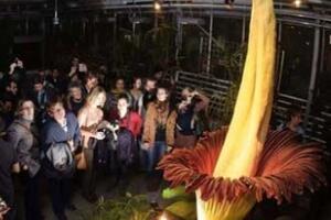 世界上最大的花,尸香魔芋花(保护尸体不腐烂/最臭的花)