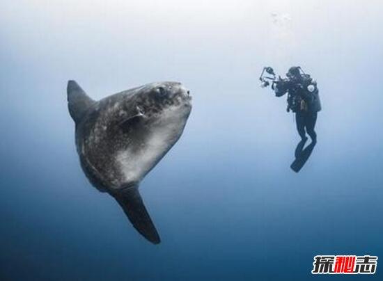 巨型翻车鱼视频图片