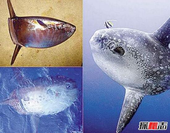 巨型翻车鱼图片图片