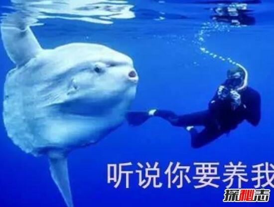 巨型翻车鱼会咬人图片