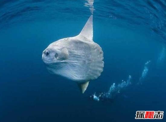 巨型翻车鱼走红图片
