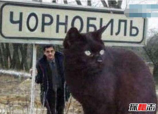 乌克兰巨猫angie_乌克兰巨猫是真的吗,世界上最大的猫angie竟是网友恶搞