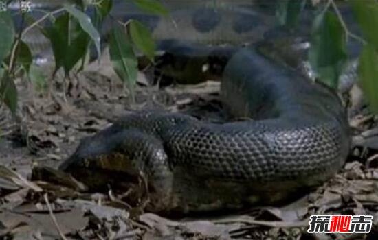 盘点世界上最大的蛇,古墓挖出千年巨蛇长20米重达400斤