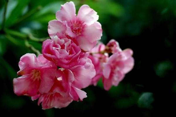 世界上最毒的10种植物,夹竹桃在中国南方随处可见(误食致命)