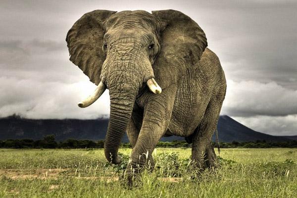世界上最记仇的动物,大象报仇十年不晚