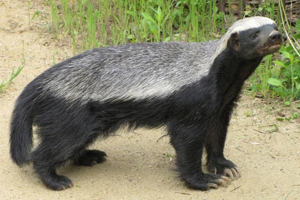 动物界中最记仇的四种动物,平头哥蜜獾只能屈居第四
