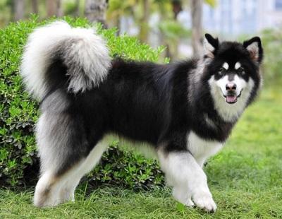 世界十大可爱温顺狗狗:二哈上榜,牧羊犬智商最高