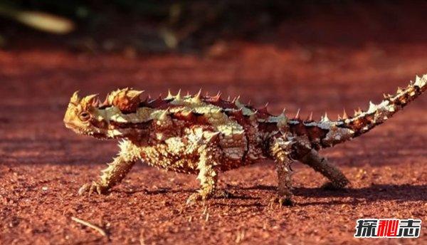 世界巨胖_世界上十大最凶猛的蜥蜴 澳洲魔蜥排第五,第二伪装高手_探秘志