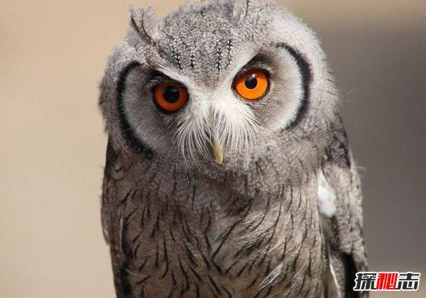 猫头鹰是几级保护动物?世界十大濒危的猫头鹰种类
