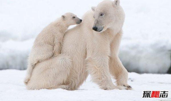 北极熊真的会灭绝吗?揭秘2018北极熊现存数量