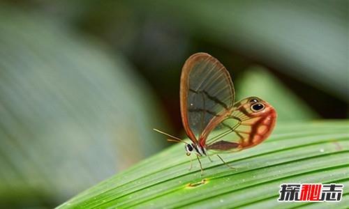 世界上最稀有七种蝴蝶:光明女神标本36万,第一雌雄同体