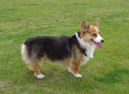 世界上最稀有的狗品种:葡萄牙水犬会捕鱼,第一种或已灭绝!