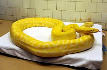 世界上最稀有的蛇:蓝蛇售价50万美元(变异品种)