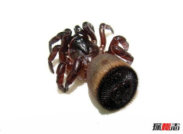 長相奇葩的蜘蛛:金錢活門蛛(屁股上長棋盤中國僅6只)