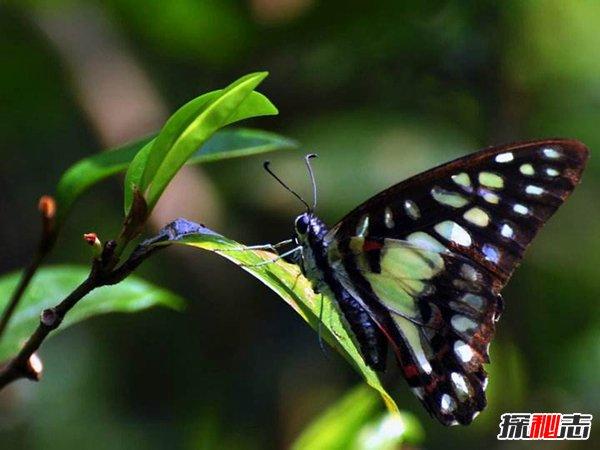 顏色豐富的蝴蝶:三色青鳳蝶 對稱之美令人著迷