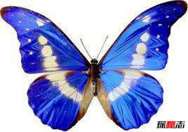 海倫閃蝶色彩艷麗 難得的美麗閃蝶(花紋復雜前足退化)