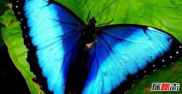 夢幻閃蝶相關資料 夢幻閃蝶的圖片揭秘