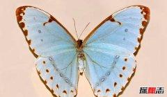 肯特闪蝶的特征 自带渐变蓝色的蝴蝶(独特而美丽)